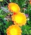 Календула - лікувальна трава