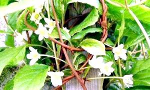 Новинка у вашому саду - лікарська ліана. як застосовувати китайський лимонник?