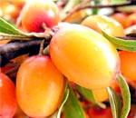 Масло обліпихи: склад, користь, властивості, застосування і лікування маслом обліпихи