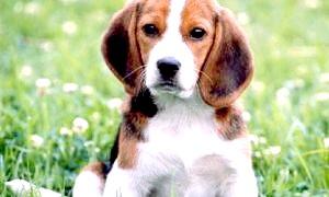 Мисливець з англії - опис породи собак бігль