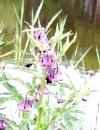 Живокіст і його корисні властивості: обережно, рослина отруйна!