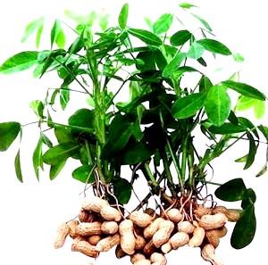 Фото - Як росте арахіс в домашніх умовах