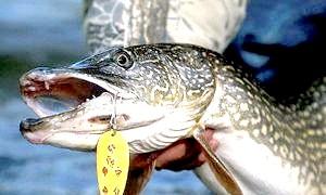 Осіння рибалка - на що ловити щуку