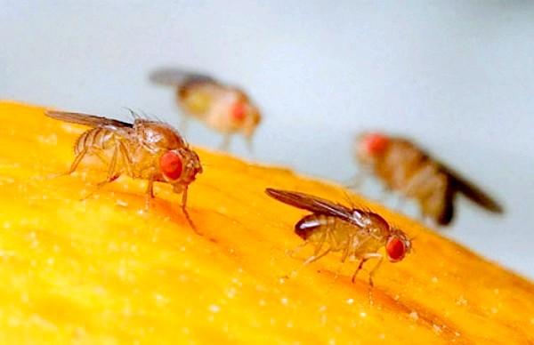 Фото - Звідки з'являються мошки на фруктах