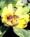 Бджолиний чистотіл - засіб проти вугрового висипу