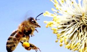 Бджоли зникають. звичний світ на краєчку хітинового крильця