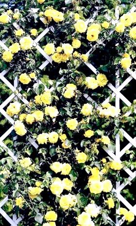 Фото - В'юнкі троянди на шпалері - шикарні