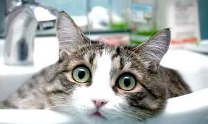 Чому кішки бояться води? що це - страх або природний інстинкт?