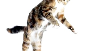 Чому кішки виживають, впавши з величезної висоти: неординарні можливості тваринного організму