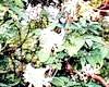 Жимолость каприфоль - запашне прикраса саду