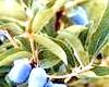 Жимолость їстівна - літня ягода, рятувала предків від авітамінозу