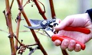 Пора ягід закінчилася: як підготувати малину до зими
