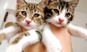 Привчити кошеня до туалету: виховуємо вихованця з любов'ю