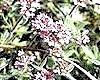 Чебрець і його корисні властивості: чебрець або богородская трава