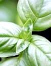 Базилік: корисні властивості ароматної прянощі
