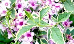 Рожева хмара вейгели - посадка і догляд у вашому саду
