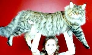 Найбільша порода домашніх кішок - пухнаста гордість господарів