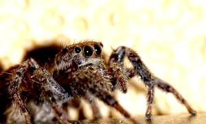 Найбільш отруйні павуки в світі: хіт-парад холоднокровних членистоногих кілерів