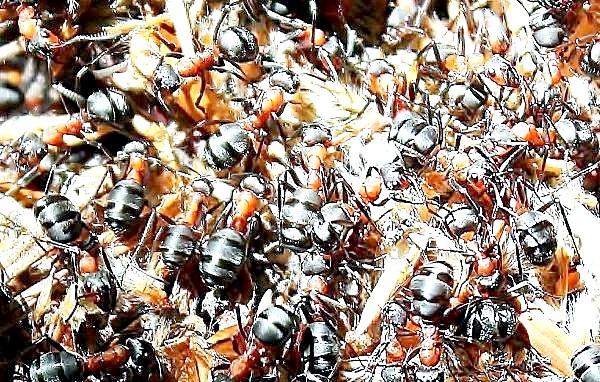 Фото - Сім'я мурах може обглодать навіть цілої людини!