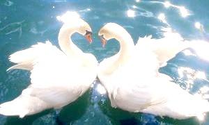 Найвірніші тварини: прекрасні лебеді й моторошні Спайник