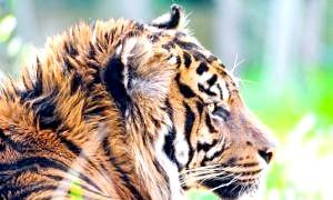 Найменший з тигрів - суматранський тигр