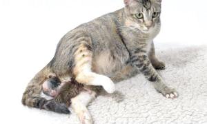 Скільки у кішки триває вагітність