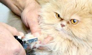 Вчимося доглядати за вихованцем: як стригти кігті кішці