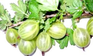Догляд восени за агрусом: рекомендації садівникам