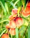 Фото - персики користь і шкода