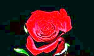 Велична лілія або скромна фіалка: які квіти дарують чоловікам