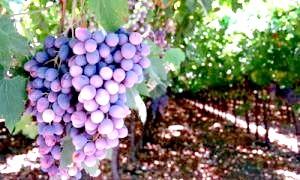 Виноград: користь і шкода природного чуда