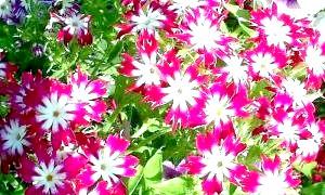 Вирощуємо «вогняні» квіти флокси!
