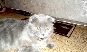 За що ви полюбите шотланскую вислоухую кішку?