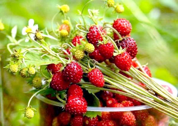 Фото - Насичений смак лісової суниці не зрівняється з іншого ягодою