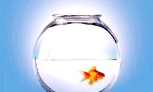 Золота рибка - чим не подарунок?
