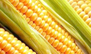 Цариця полів кукурудза: корисні властивості і шкода