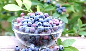 Чорниця: користь і шкода добре знайомої ягоди
