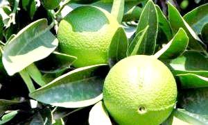 Що таке бергамот і чим корисні його плоди, листя, ефірні масла