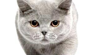 Характер британської кішки: холодний аристократ або плюшевий друг?