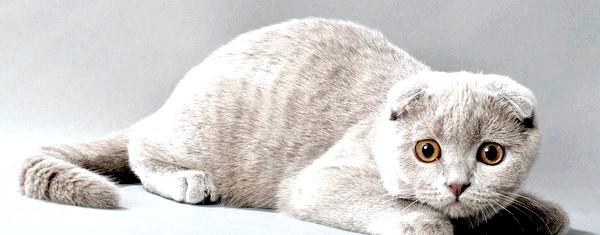 Фото - Як виховувати британську вислоухую кішку. Фото з сайту zoofacts.ru