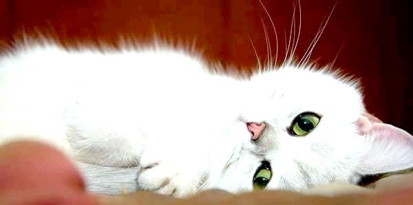 Фото - Британська шиншила підкорює своєю ніжністю. Фото з сайту sunny-cat.ru