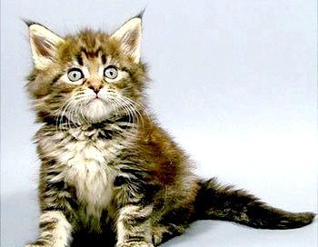 Фото - Кошеня мейн-куна - ці чарівні вушка з пензликами. Фото з сайту http://vashipitomcy.ru/