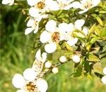 Ефірна олія чайного дерева і його властивості