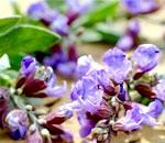 Ефірна олія шавлії: склад, користь і властивості, застосування ефірного масла шавлії