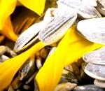 Фото - насіння соняшнику