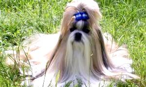 Що таке декоративні собаки?