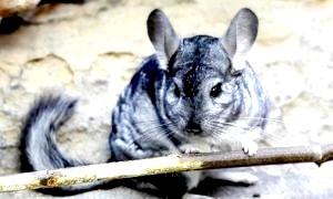 Фото - Шиншила - тварина, відгуки про який пов'язані з умовами його утримання в домашніх умовах і ціною