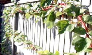 Фото - Шпалера для винограду своїми руками: види, інструкції з виготовлення, корисні поради
